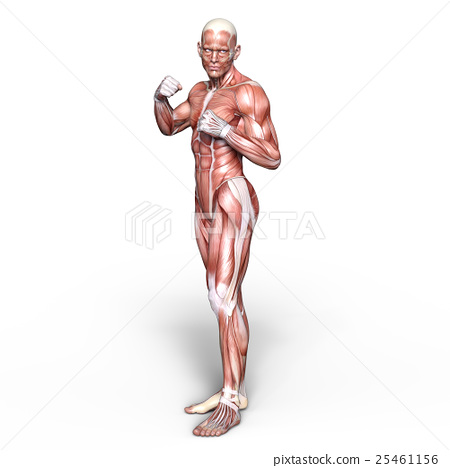 Anatomy Human Body Full Body Stock Illustration 25461156 Pixta