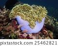 小丑鱼 海葵 潜水 25462821