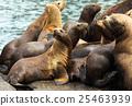 Rookery Steller sea lions. Island in Pacific Ocean 25463939