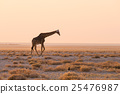 Giraffe walking in the bush at sunset 25476987