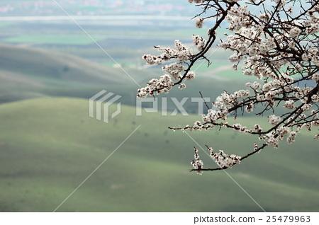 杏花 25479963