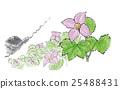 Glaucidium palmatum 25488431