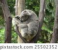 หมีโคอะล่า,นอน,หลับ 25502352