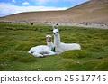 拉巴斯(玻利維亞西部城市) 羊駝 玻利維亞 25517745