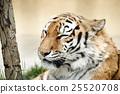 老虎 虎 動物 25520708