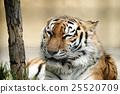 老虎 虎 動物 25520709