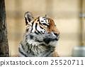 老虎 虎 動物 25520711