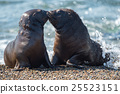 baby newborn sea lion on the beach while kissing 25523151