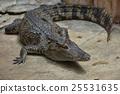 crocodile, reptile, crocodiles 25531635
