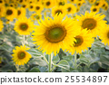 Full bloom yellow sunflower, natural background 25534897