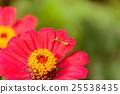 Mantis on red flower 25538435
