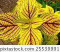 装饰性植物 植物 植物学 25539991