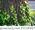 ivy, japanese creeper, plant 25539993