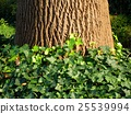 ivy, japanese creeper, plant 25539994