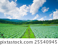 Tsumagoi村的白菜田 25540945