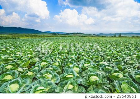 쓰 마고이 촌의 양배추 밭 25540951