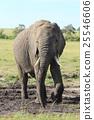 elephant, african, loxodonta 25546606