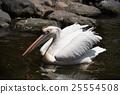 นกกระทุง,สัตว์,ภาพวาดมือ 25554508