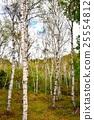 야치호코겐, 야치호 고원, 자작나무 25554812