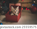 kitten playing in a gift box 25559575