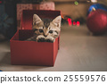 kitten playing in a gift box 25559576