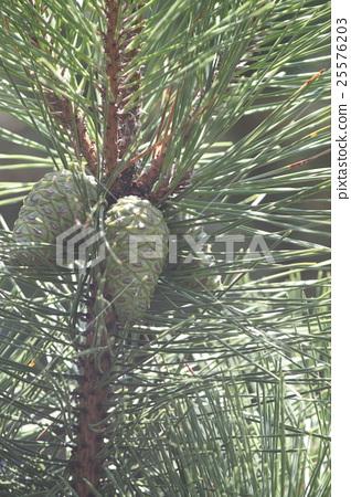 Pine cones 25576203