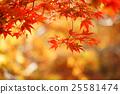 楓樹 紅楓 楓葉 25581474