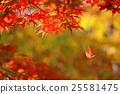 楓樹 紅楓 楓葉 25581475