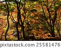 楓樹 紅楓 楓葉 25581476