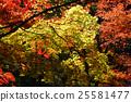 枫树 枫叶 红枫 25581477