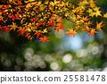 楓樹 紅楓 楓葉 25581478