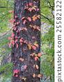 poison, ivy, autumn 25582122
