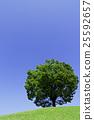 光叶榉 树 树木 25592657