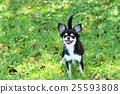 สุนัข,สุนัช,ชีวาวา 25593808