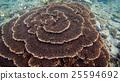 กลุ่มของปะการัง Kushimoto 25594692