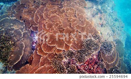 珊瑚 珊瑚礁 簇 25594694
