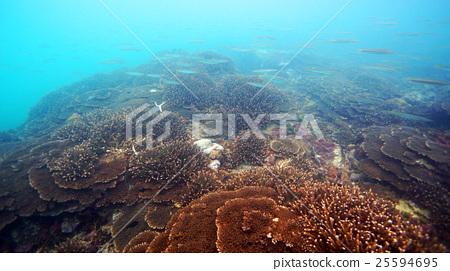珊瑚 珊瑚礁 簇 25594695