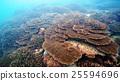珊瑚 珊瑚礁 殖民地 25594696