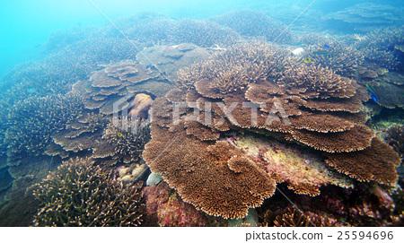 珊瑚 珊瑚礁 簇 25594696