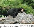 malayan sun bear 25611299
