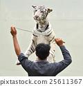 zookeeper training white bengal tiger 25611367