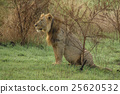 Old male lion with scars sit in the grass 25620532
