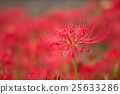 red spider lily, cluster amaryllis, bloom 25633286