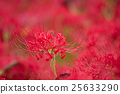 red spider lily, cluster amaryllis, bloom 25633290