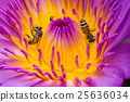 Beautiful waterlily or lotus flower with bee. 25636034