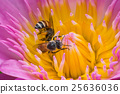 Beautiful waterlily or lotus flower with bee. 25636036