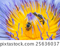 Beautiful waterlily or lotus flower with bee. 25636037