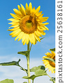 Sunflower  blooming agent blue sky 25638161