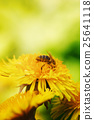 yellow bee dandelion 25641118