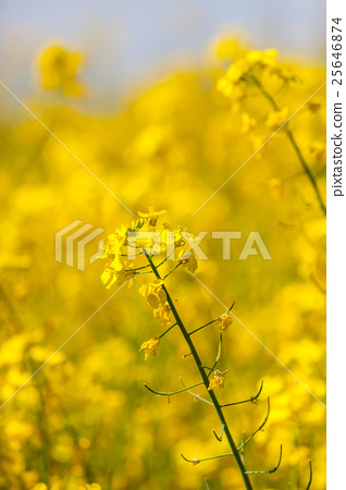 Flowering oilseed rapeseed as background 25646874